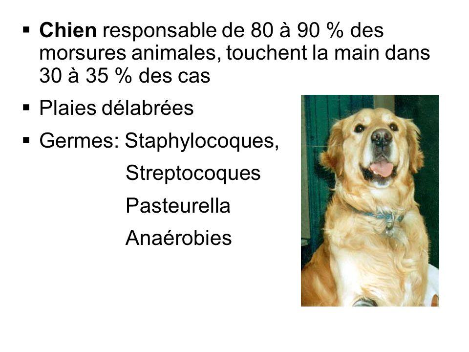 Chien responsable de 80 à 90 % des morsures animales, touchent la main dans 30 à 35 % des cas Plaies délabrées Germes: Staphylocoques, Streptocoques P