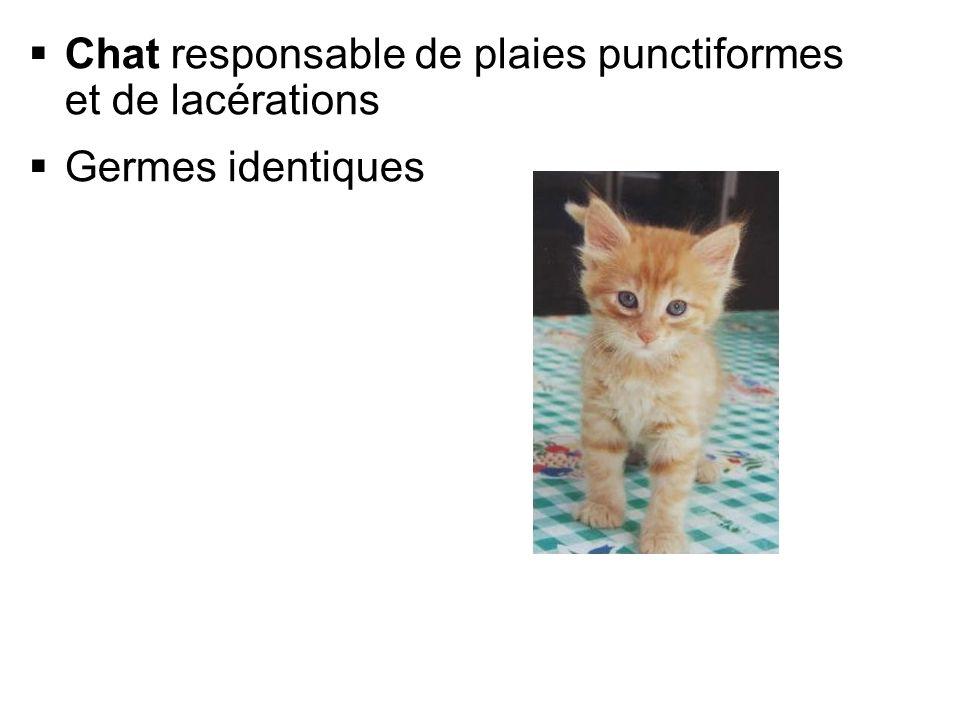 Chat responsable de plaies punctiformes et de lacérations Germes identiques