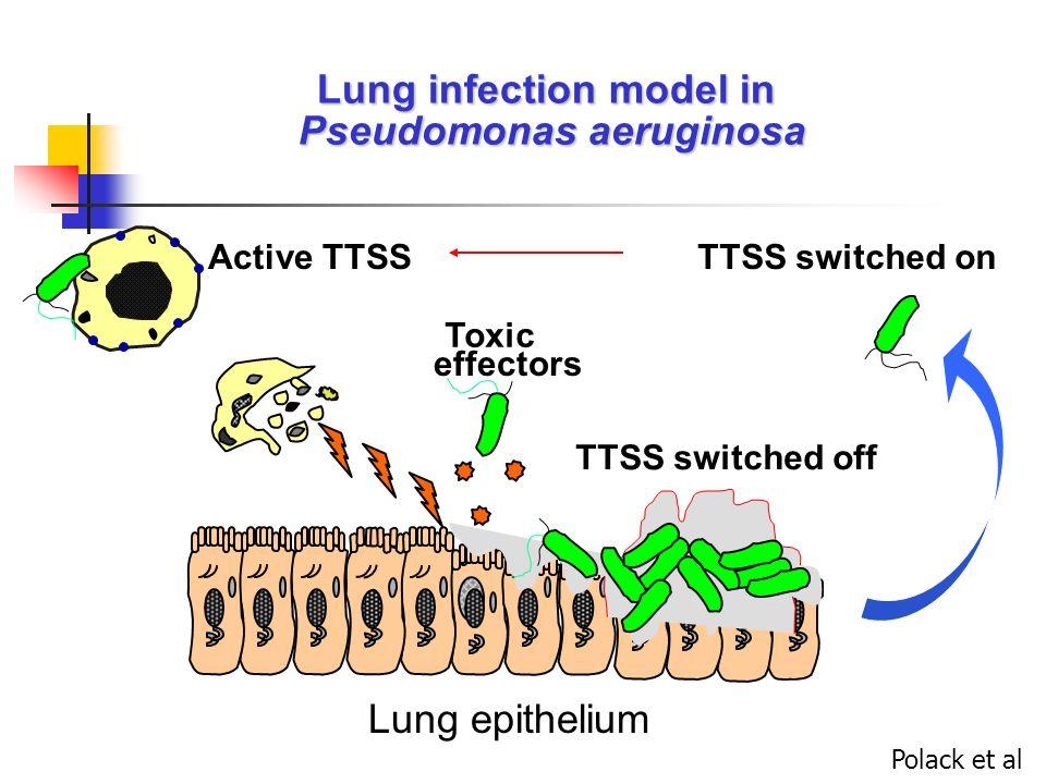 Modèle de souris brûlée s/c : Injection 10 2 CFU Rumbaugh et al, Inf Imm 1999