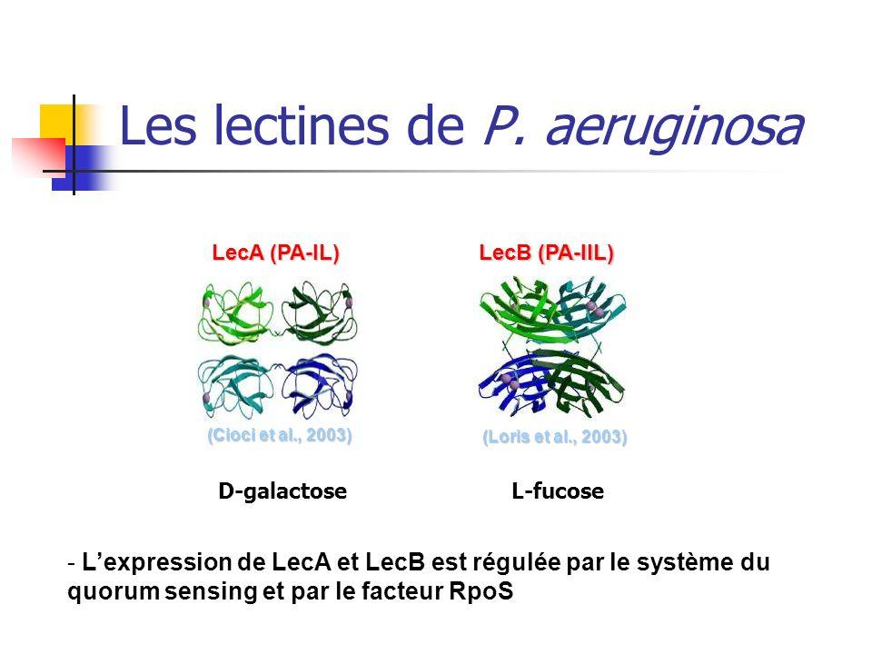 - Lexpression de LecA et LecB est régulée par le système du quorum sensing et par le facteur RpoS (Cioci et al., 2003) (Cioci et al., 2003) LecA (PA-I