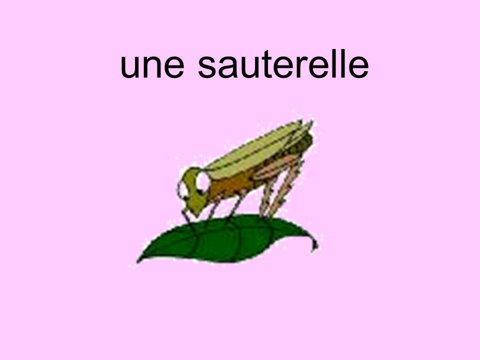 une sauterelle