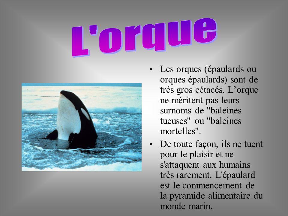 Les orques (épaulards ou orques épaulards) sont de très gros cétacés.