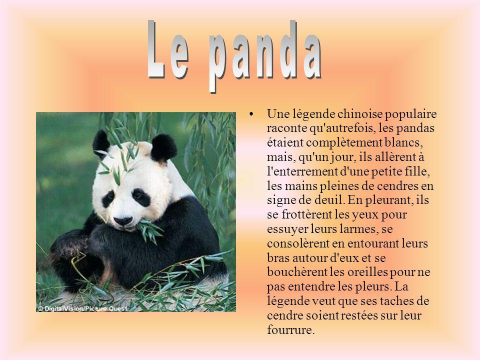 Une légende chinoise populaire raconte qu autrefois, les pandas étaient complètement blancs, mais, qu un jour, ils allèrent à l enterrement d une petite fille, les mains pleines de cendres en signe de deuil.