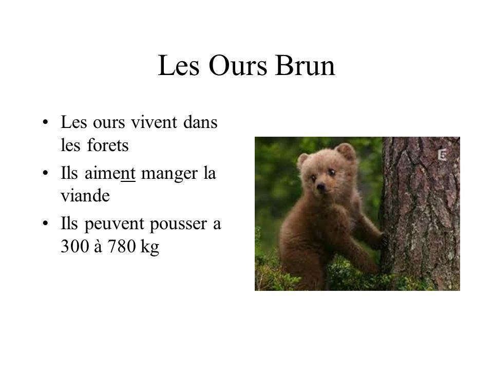 Les Ours Brun Les ours vivent dans les forets Ils aiment manger la viande Ils peuvent pousser a 300 à 780 kg