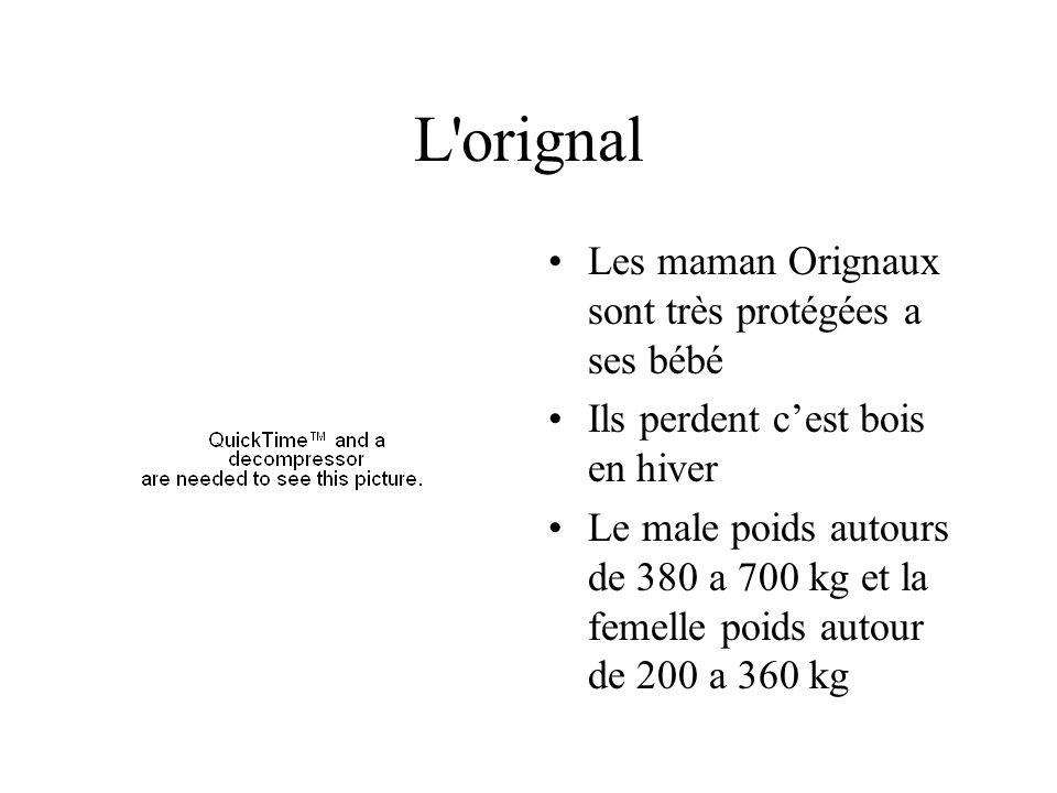 L orignal Les maman Orignaux sont très protégées a ses bébé Ils perdent cest bois en hiver Le male poids autours de 380 a 700 kg et la femelle poids autour de 200 a 360 kg
