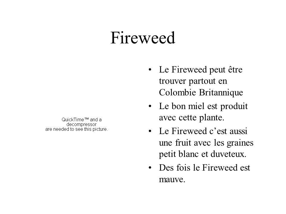 Fireweed Le Fireweed peut être trouver partout en Colombie Britannique Le bon miel est produit avec cette plante.