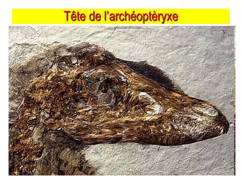 Tête de larchéoptèryxe