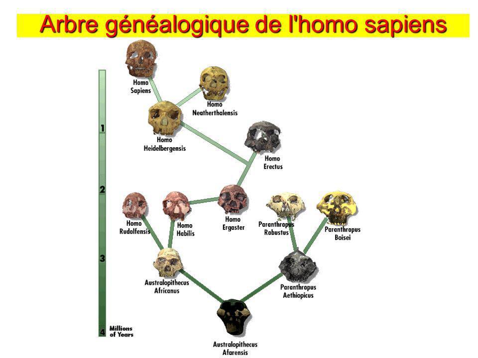 Arbre généalogique de l'homo sapiens
