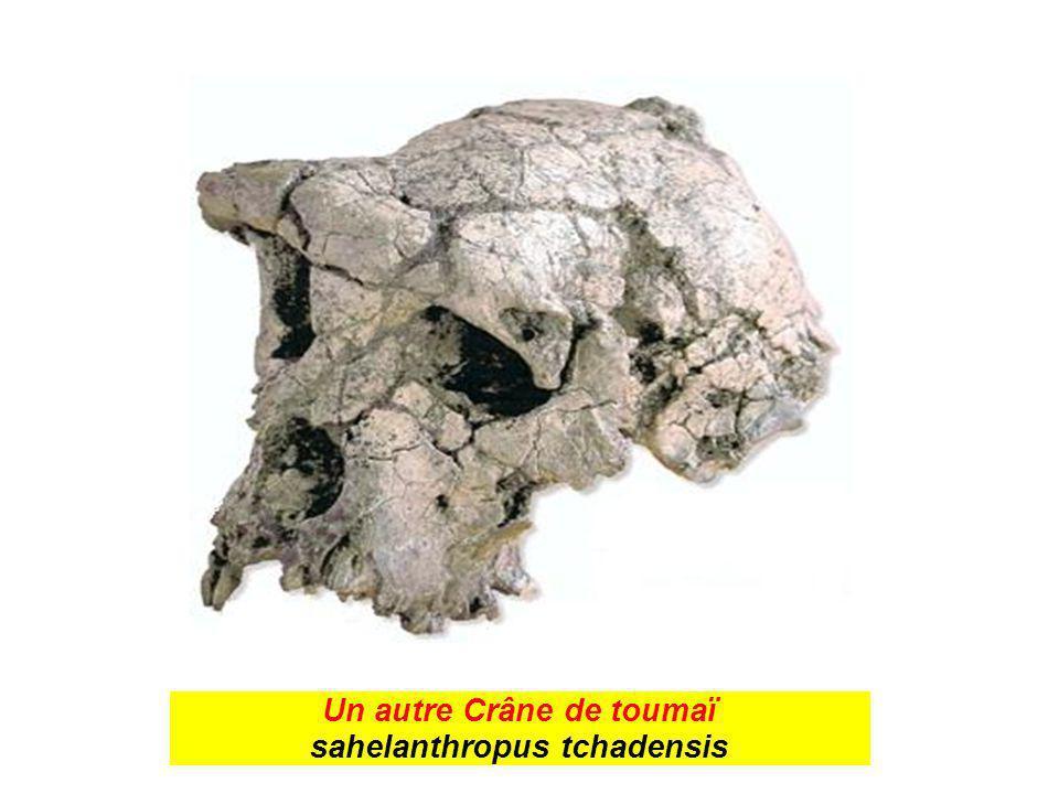 Un autre Crâne de toumaï sahelanthropus tchadensis