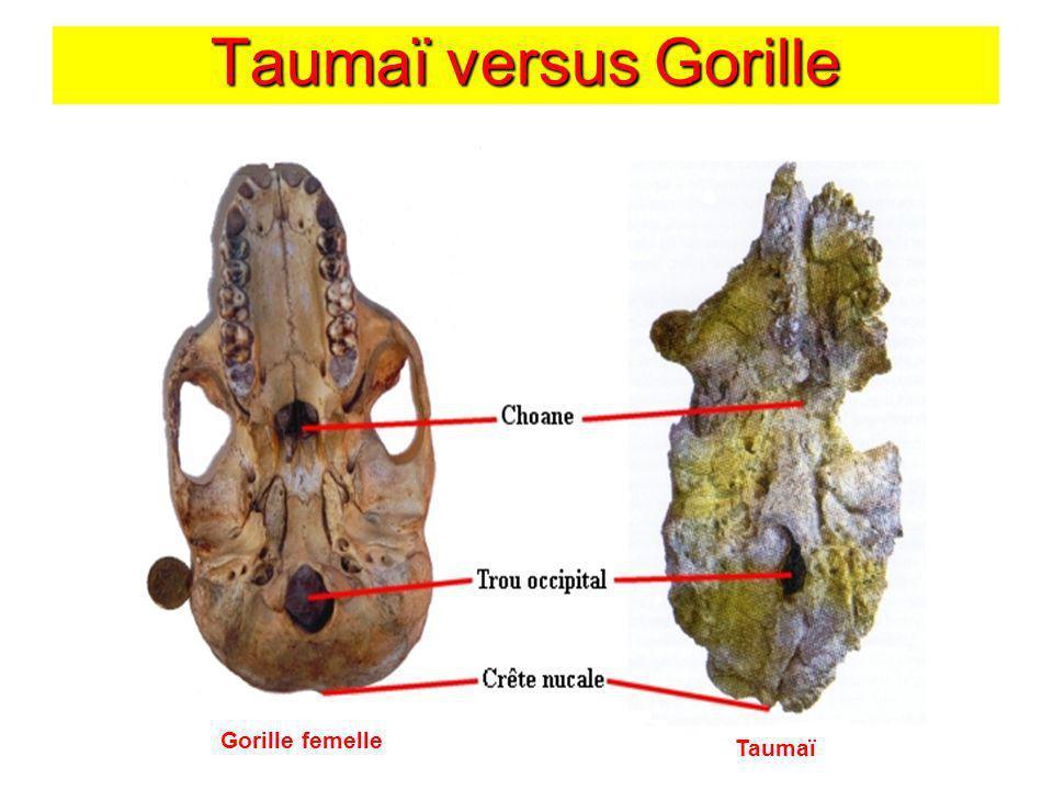 Taumaï versus Gorille Taumaï Gorille femelle