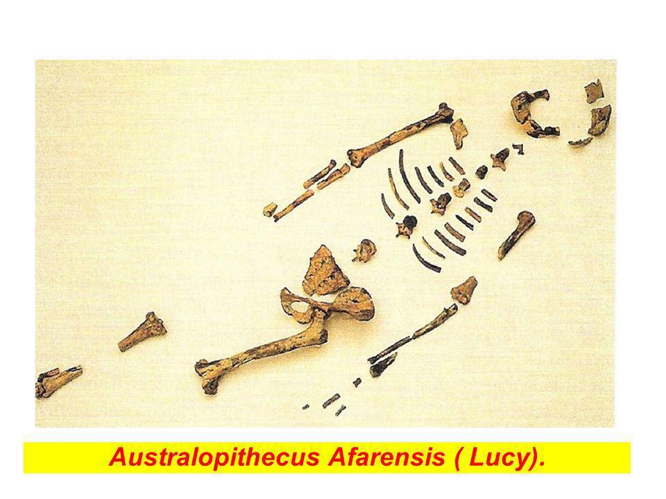 Australopithecus Afarensis ( Lucy).