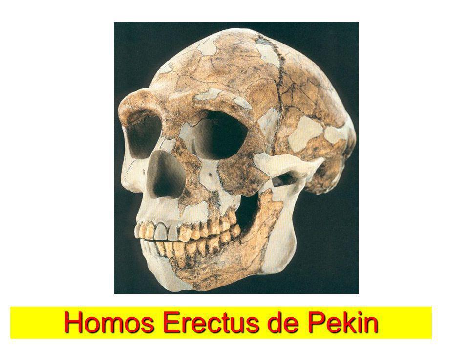 Homos Erectus de Pekin