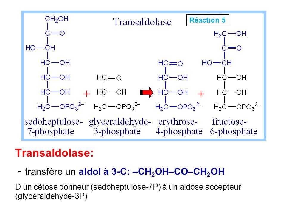 Transaldolase: - transfère un aldol à 3-C: –CH 2 OH–CO–CH 2 OH Dun cétose donneur (sedoheptulose-7P) à un aldose accepteur (glyceraldehyde-3P) Réactio