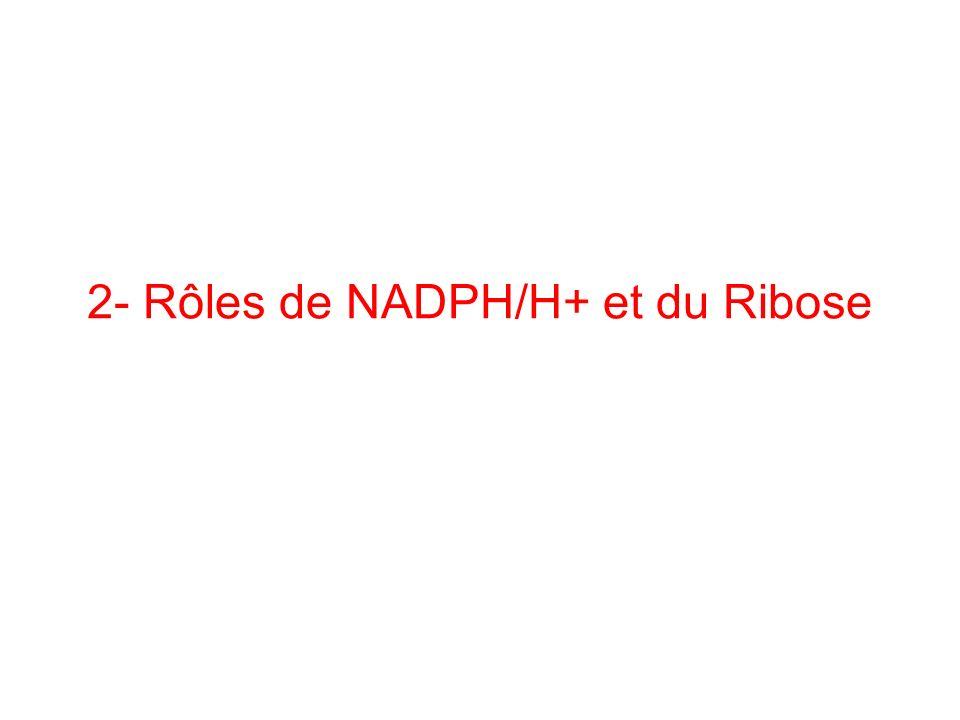 2- Rôles de NADPH/H+ et du Ribose
