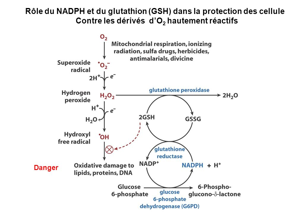 Rôle du NADPH et du glutathion (GSH) dans la protection des cellules Contre les dérivés dO 2 hautement réactifs Danger