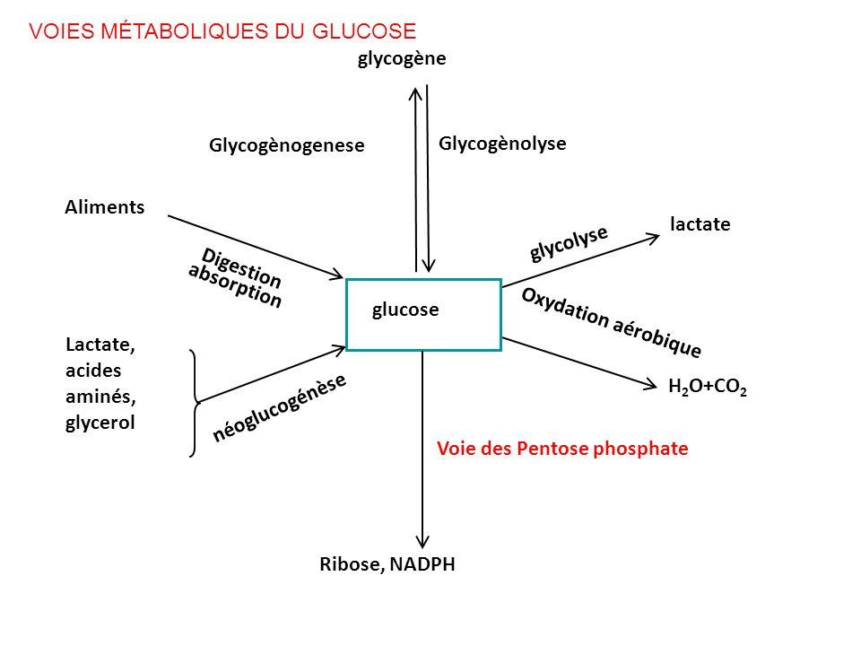 glycogène Glycogènogenese Glycogènolyse Voie des Pentose phosphate Ribose, NADPH glycolyse lactate H 2 O+CO 2 Oxydation aérobique Digestion absorption