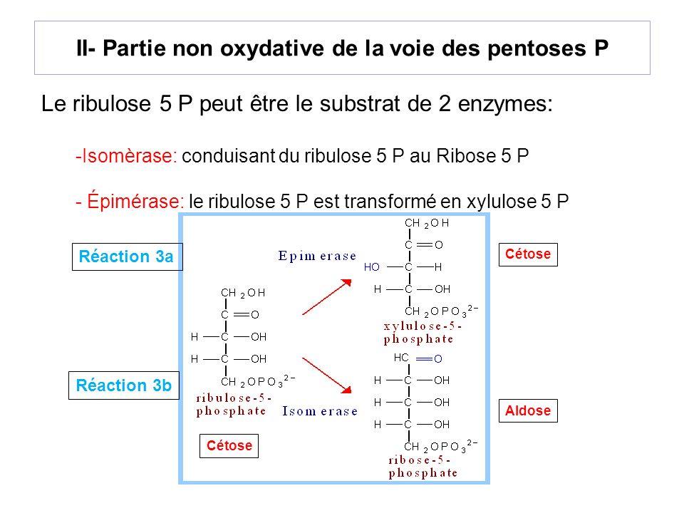 II- Partie non oxydative de la voie des pentoses P Le ribulose 5 P peut être le substrat de 2 enzymes: -Isomèrase: conduisant du ribulose 5 P au Ribos