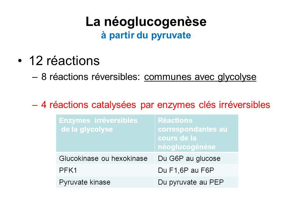 La néoglucogenèse à partir du pyruvate 12 réactions –8 réactions réversibles: communes avec glycolyse –4 réactions catalysées par enzymes clés irréver