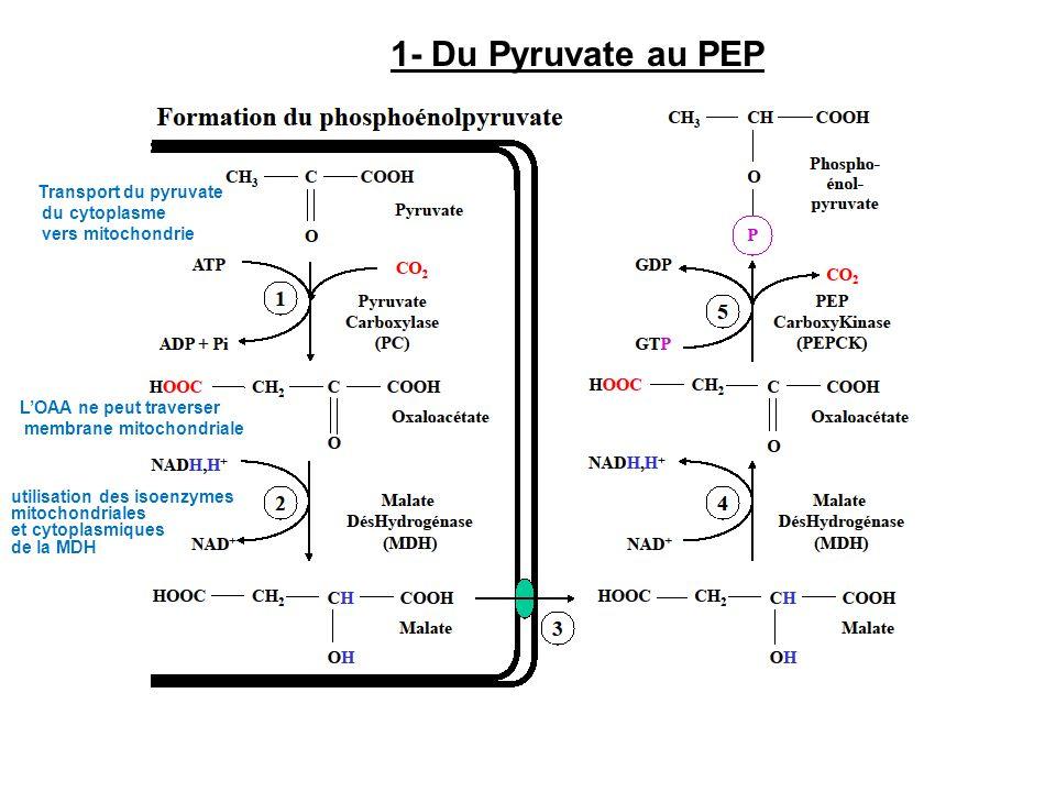 1- Du Pyruvate au PEP Transport du pyruvate du cytoplasme vers mitochondrie LOAA ne peut traverser membrane mitochondriale utilisation des isoenzymes