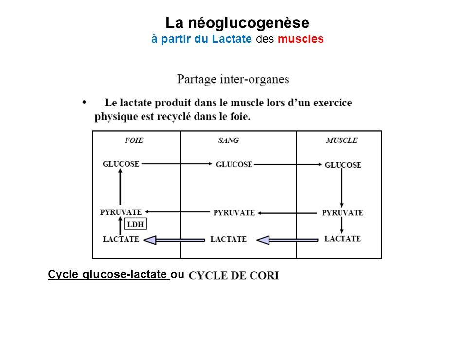 Cycle glucose-lactate ou La néoglucogenèse à partir du Lactate des muscles