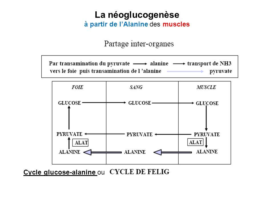 Cycle glucose-alanine ou La néoglucogenèse à partir de lAlanine des muscles