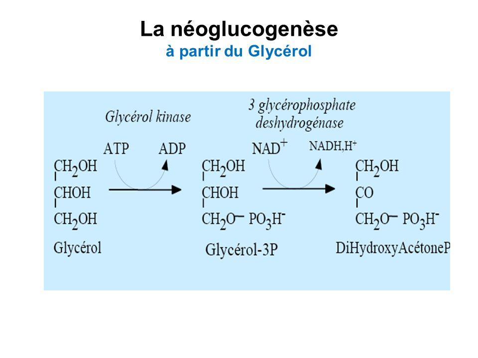 La néoglucogenèse à partir du Glycérol