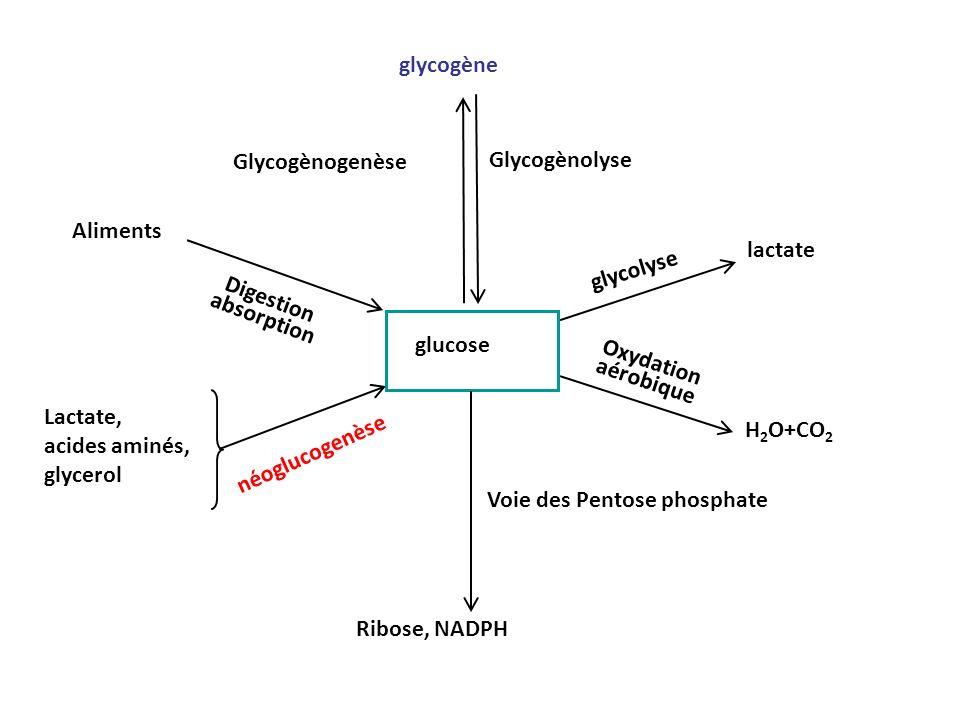 glycogène Glycogènogenèse Glycogènolyse Voie des Pentose phosphate Ribose, NADPH glycolyse lactate H 2 O+CO 2 Oxydation aérobique Digestion absorption