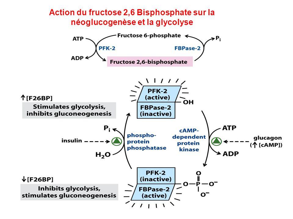 Action du fructose 2,6 Bisphosphate sur la néoglucogenèse et la glycolyse