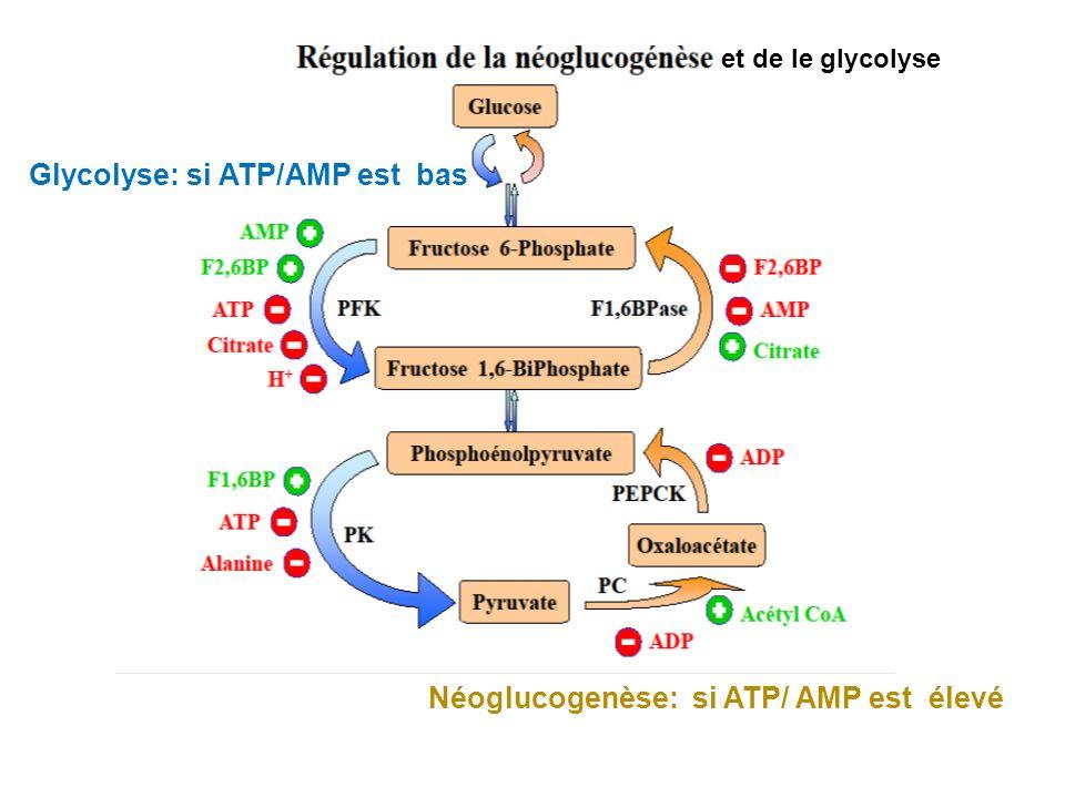 et de le glycolyse Néoglucogenèse: si ATP/ AMP est élevé Glycolyse: si ATP/AMP est bas