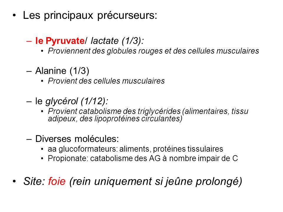 Les principaux précurseurs: –le Pyruvate/ lactate (1/3): Proviennent des globules rouges et des cellules musculaires –Alanine (1/3) Provient des cellu