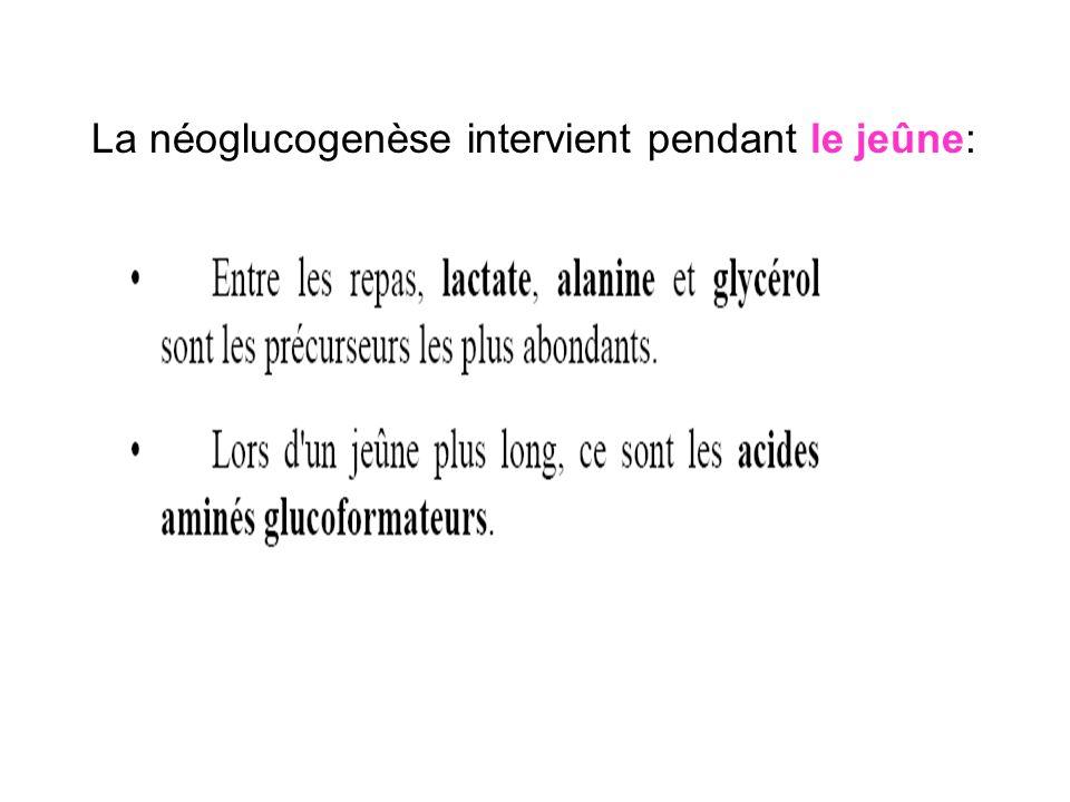 1- Les réactions de la néoglucogenèse