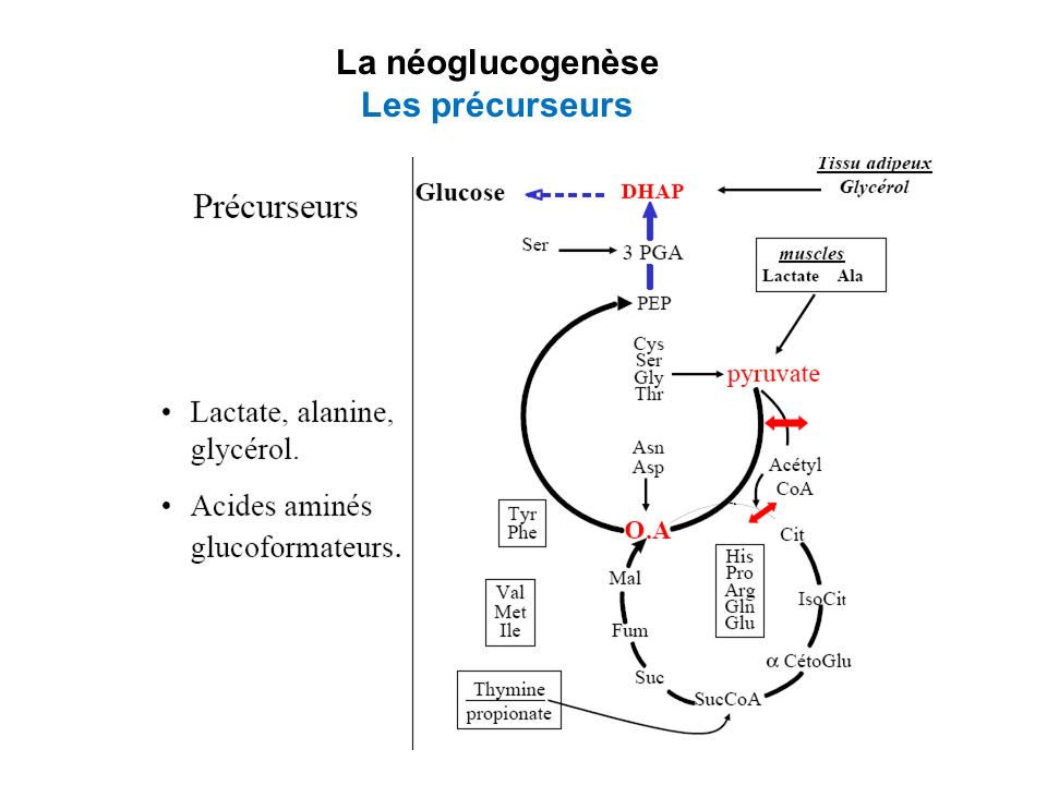 La néoglucogenèse à partir du pyruvate 12 réactions –8 réactions réversibles: communes avec glycolyse –4 réactions catalysées par enzymes clés irréversibles Enzymes irréversibles de la glycolyse Réactions correspondantes au cours de la néoglucogénèse Glucokinase ou hexokinaseDu G6P au glucose PFK1Du F1,6P au F6P Pyruvate kinaseDu pyruvate au PEP