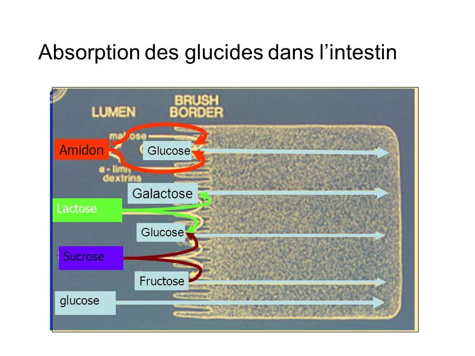 Absorption des glucides dans lintestin glucos e Fructose Sucrose Glucose Lactose Galactose Glucose Amidon