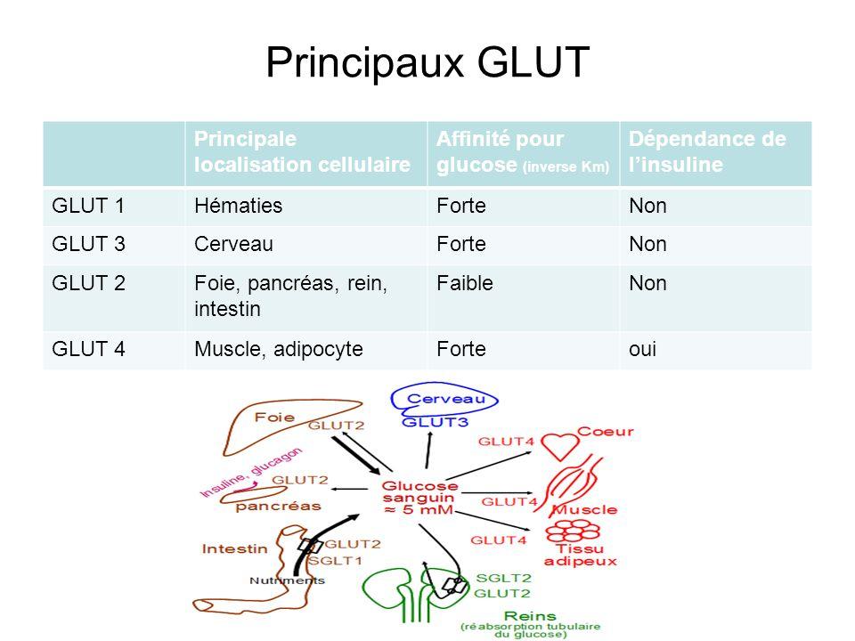 Principaux GLUT Principale localisation cellulaire Affinité pour glucose (inverse Km) Dépendance de linsuline GLUT 1HématiesForteNon GLUT 3CerveauFort