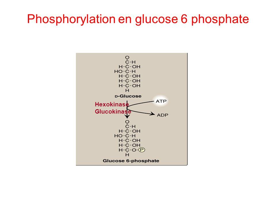 Phosphorylation en glucose 6 phosphate Hexokinase Glucokinase