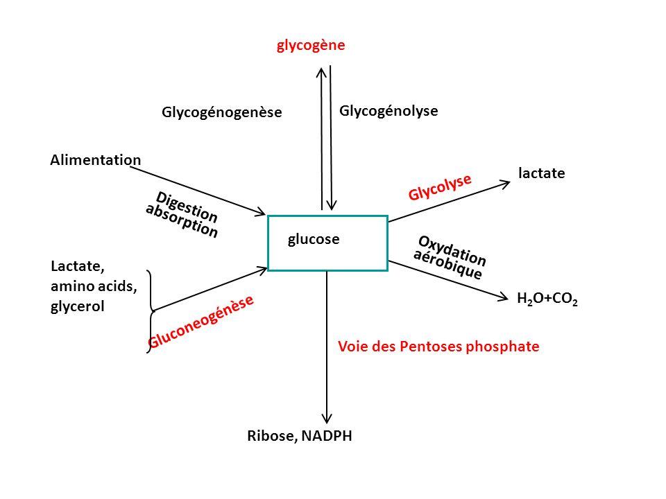 glycogène Glycogénogenèse Glycogénolyse Voie des Pentoses phosphate Ribose, NADPH Glycolyse lactate H 2 O+CO 2 Oxydation aérobique Digestion absorptio