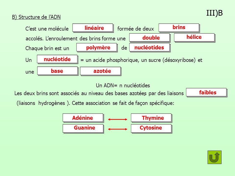 III)B B) Structure de lADN Cest une moléculeformée de deux accolés. Lenroulement des brins forme une Chaque brin est un de Un= un acide phosphorique,