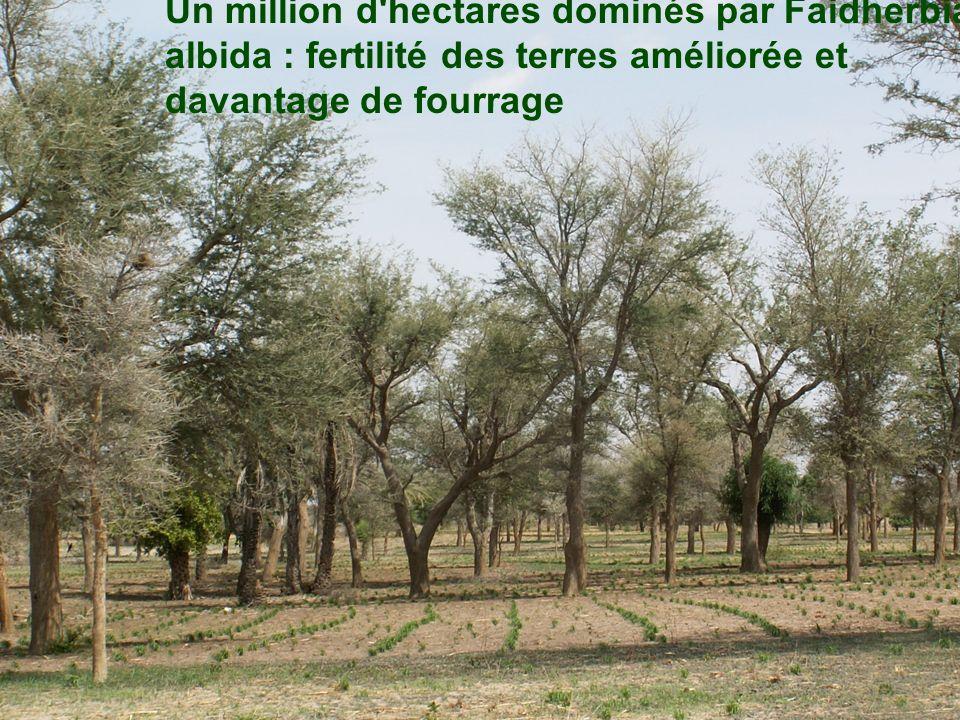Un million d'hectares dominés par Faidherbia albida : fertilité des terres améliorée et davantage de fourrage