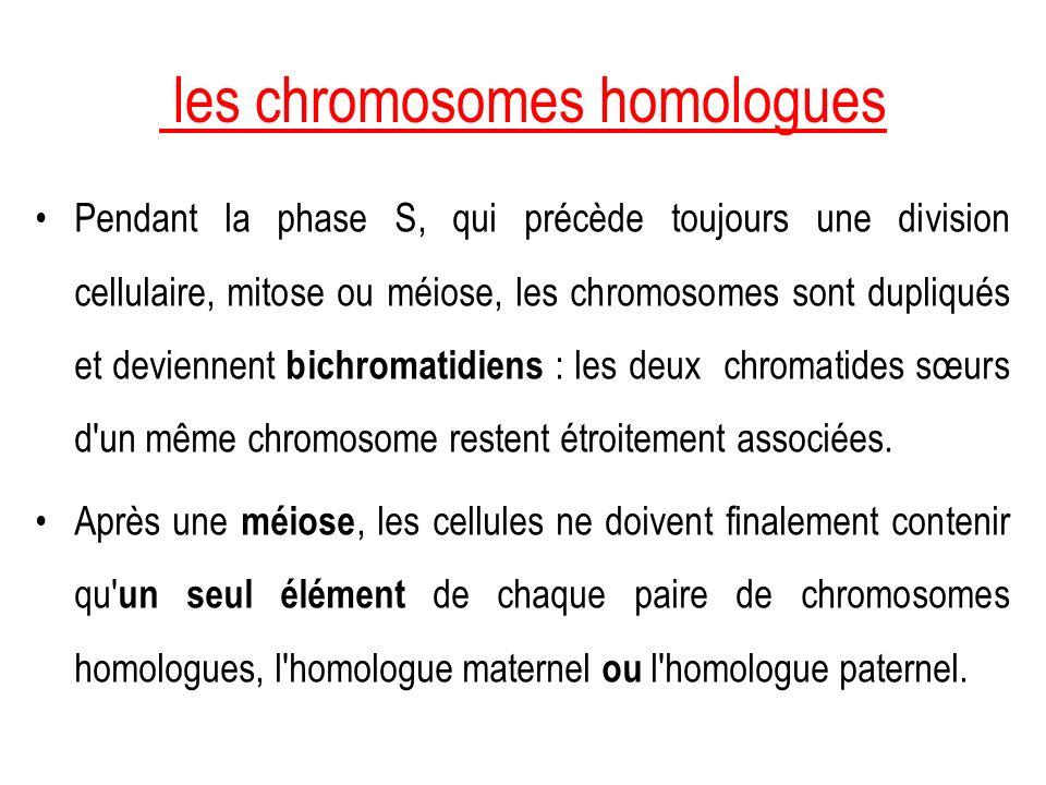 les chromosomes homologues Pendant la phase S, qui précède toujours une division cellulaire, mitose ou méiose, les chromosomes sont dupliqués et devie