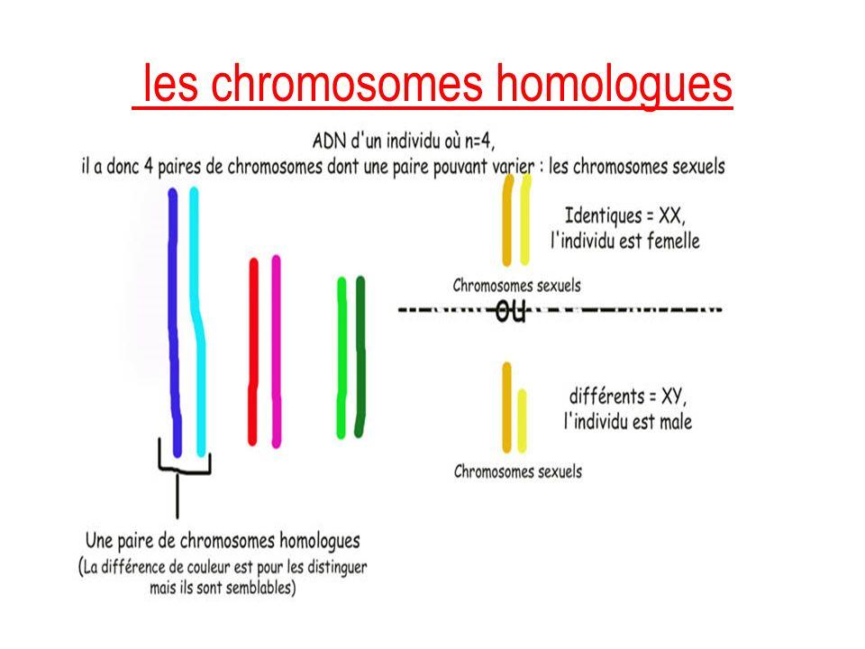 les chromosomes homologues