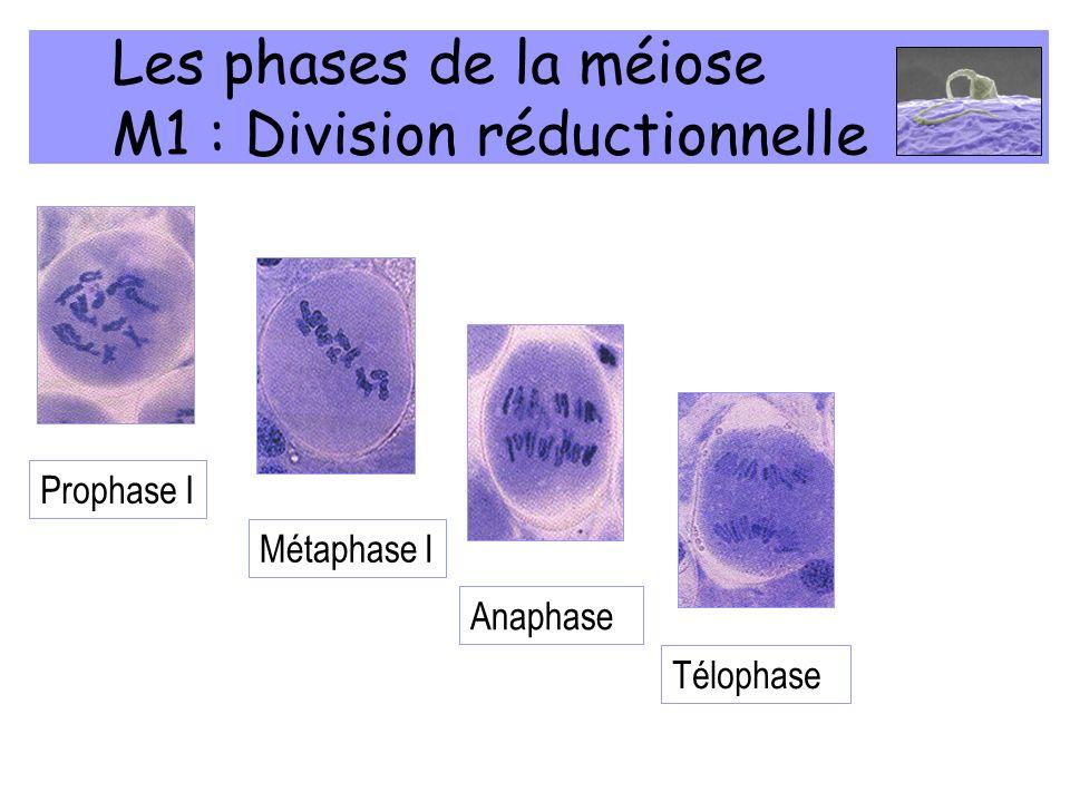 Les phases de la méiose M1 : Division réductionnelle Prophase I Métaphase IAnaphase I Télophase I