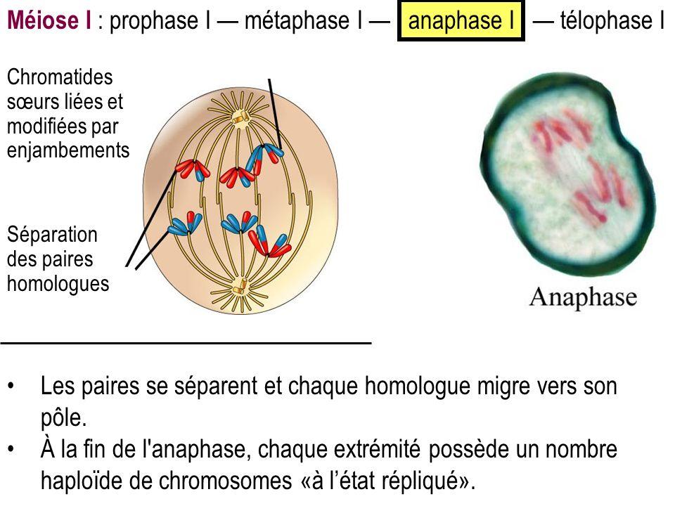 Méiose I : prophase I métaphase I anaphase I télophase I Les paires se séparent et chaque homologue migre vers son pôle. À la fin de l'anaphase, chaqu