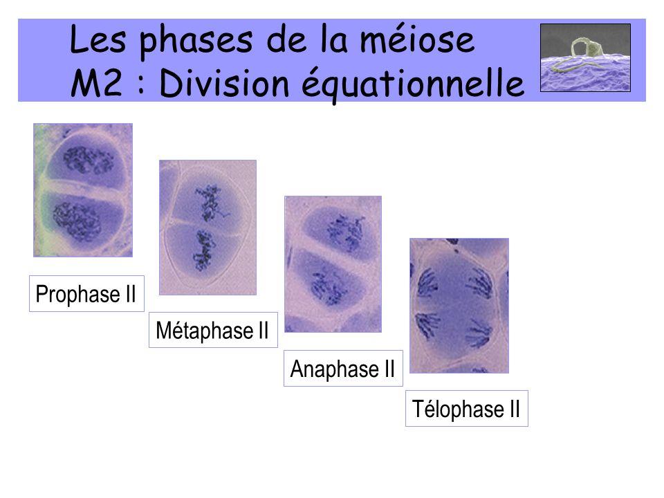 Les phases de la méiose M2 : Division équationnelle Prophase II Métaphase II Anaphase II Télophase II