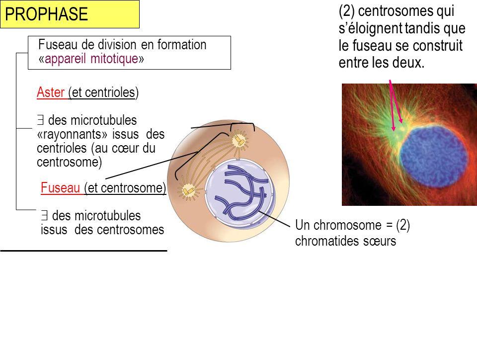 PROPHASE (2) centrosomes qui séloignent tandis que le fuseau se construit entre les deux. Fuseau de division en formation «appareil mitotique» Aster (