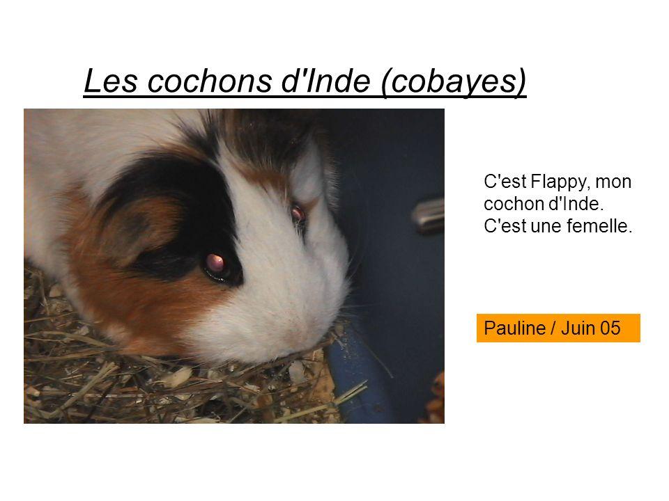Les cochons d'Inde (cobayes) C'est Flappy, mon cochon d'Inde. C'est une femelle. Pauline / Juin 05