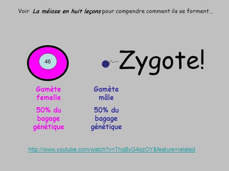 Voir La méiose en huit leçons pour compendre comment ils se forment… 23 Gamète femelle 50% du bagage génétique Gamète mâle 50% du bagage génétique 46