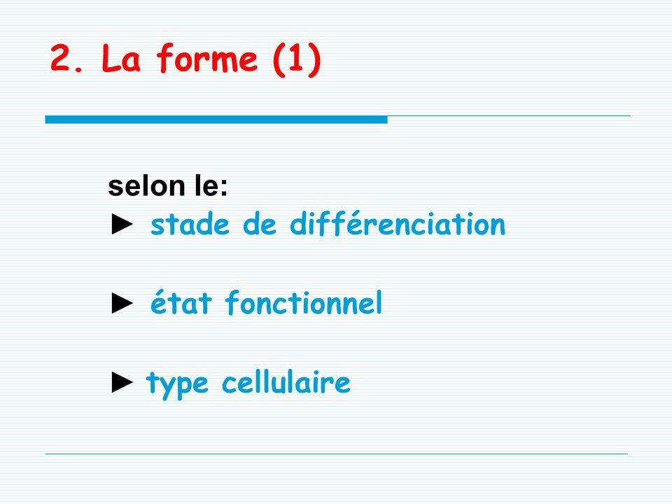 1. La taille -5 à 6 μ, dépend du stade de différenciation -Volume donné par le rapport nucléo- cytoplasmique : Vn/Vc: -> 1 dans les cellules indiffére