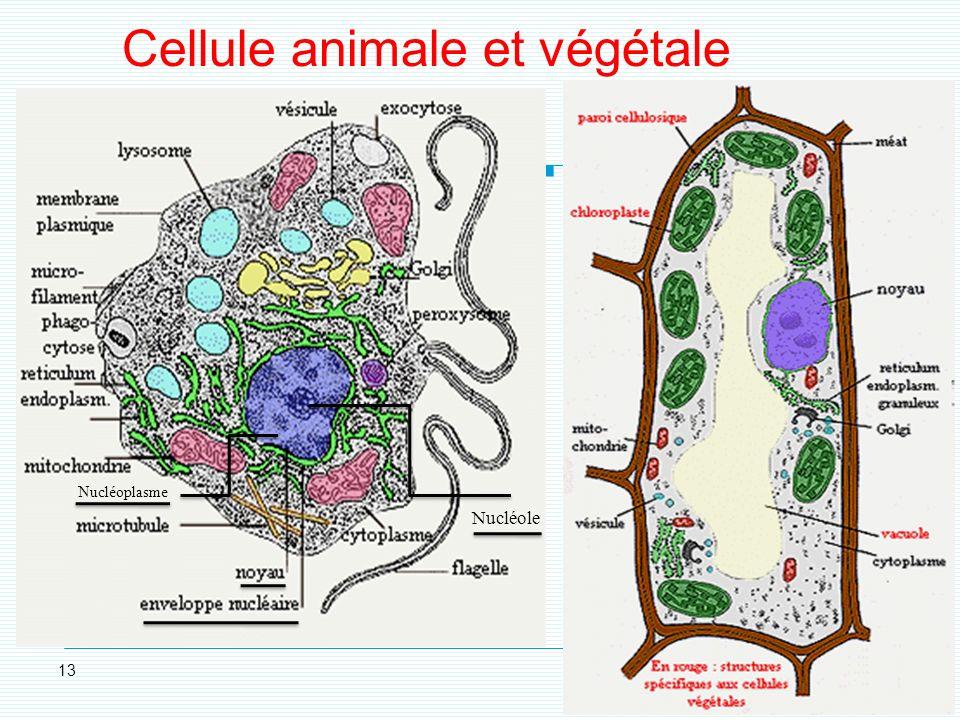 selon le: stade de différenciation état fonctionnel type cellulaire 2. La forme (1)