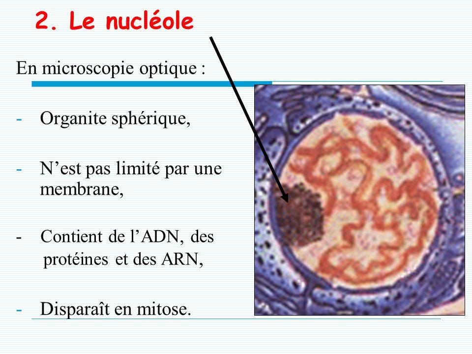 g. Biogénèse de lenveloppe nucléaire (1) -Apparaît en interphase Elle est le produit de : - la fusion autour de la lamina des vésicules du RE, - Dispa