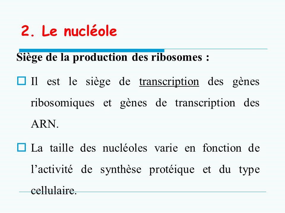 En microscopie électronique, comporte 2 zones: -Une zone périphérique granulaire :ARN -Une zone centrale fibrillaire : ADN r ou organisateur nucléolai